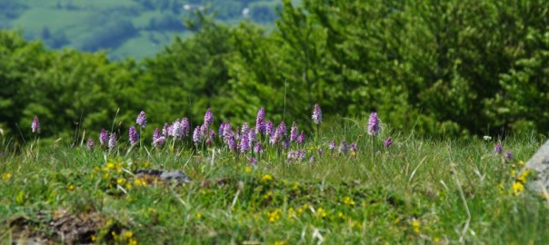 prairie à orchidées à 1300 m d'altitude
