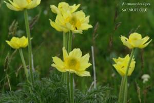 Anemone_apiiflora2-fk