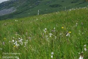 Linaigrette-prairie-fk