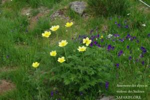 Massif-anemone-viola-fk