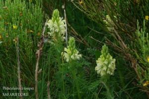Pedicularis_comosum2-fk