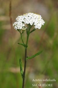 Achillea_millefolium-fk