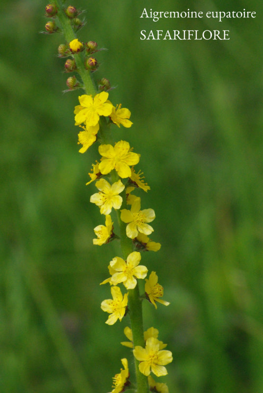 Agrimonia_eupatoria-fk