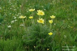 Anemone_apiiflora-fk