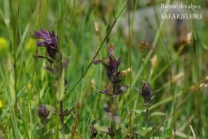 Bartsia_alpina-fk