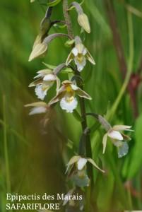 Epipactis-palustris2-fk