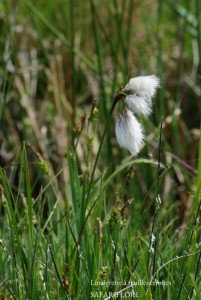 Eriophorum-polystachion-fk