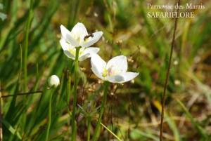 Parnassius_palustris2_fbk