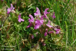 Pedicularis_sylvestris-fk