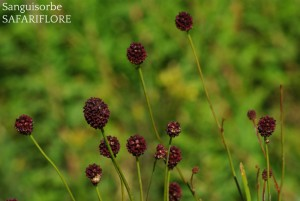 Sanguisorba_officinalis-fk