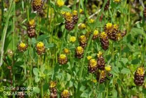 Trifolium-spadiceum-fk
