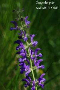 Salvia-pratensis-fk