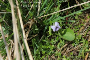 Viola-palustris-fk