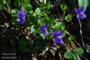 Viola sylvestris