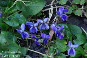Viola-odorata-fk
