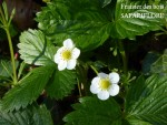 Fragaria sylvestris