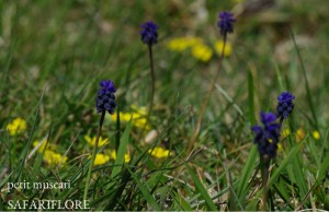 Muscari-neglectum-fk