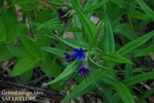 Lithospermum purpureo caeruleum