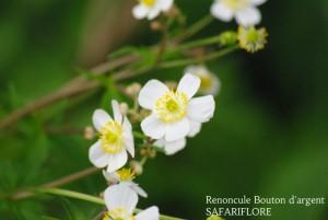 Ranonculus aconitifolius