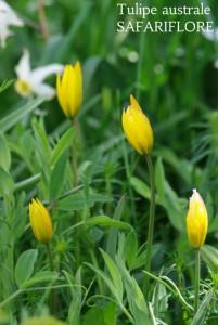 Tulipa sylvestris sps australislis-fk