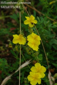 Helianthemum vulgare