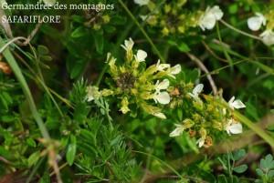 Teucrium montana