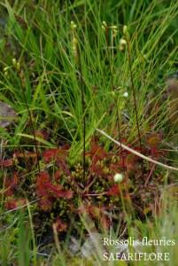 Drosera fleuries