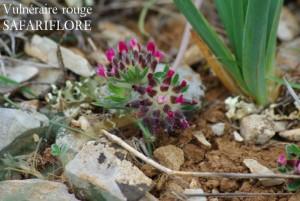 Anthyllis vulneraria rubrifolia-fk
