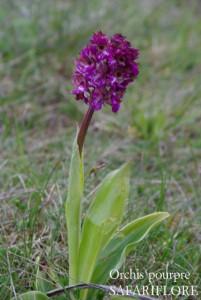 orchis-purpurea-fk