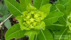 Euphorbia-hibernica-fk