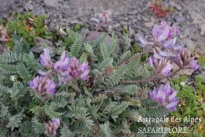 Astragalus alpina
