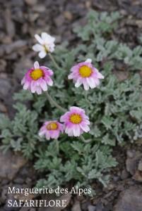 Leucanthemum alpina