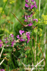 Pedicularis mixta