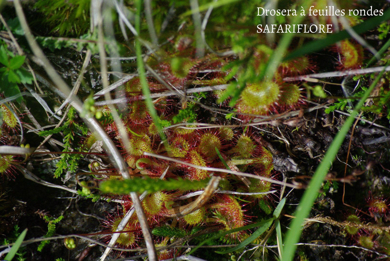 Rossolis rotundifolia