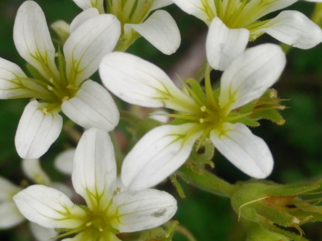 Saxifraga-gernaioides-GP