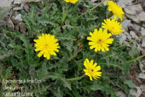 Tolpis statifolium