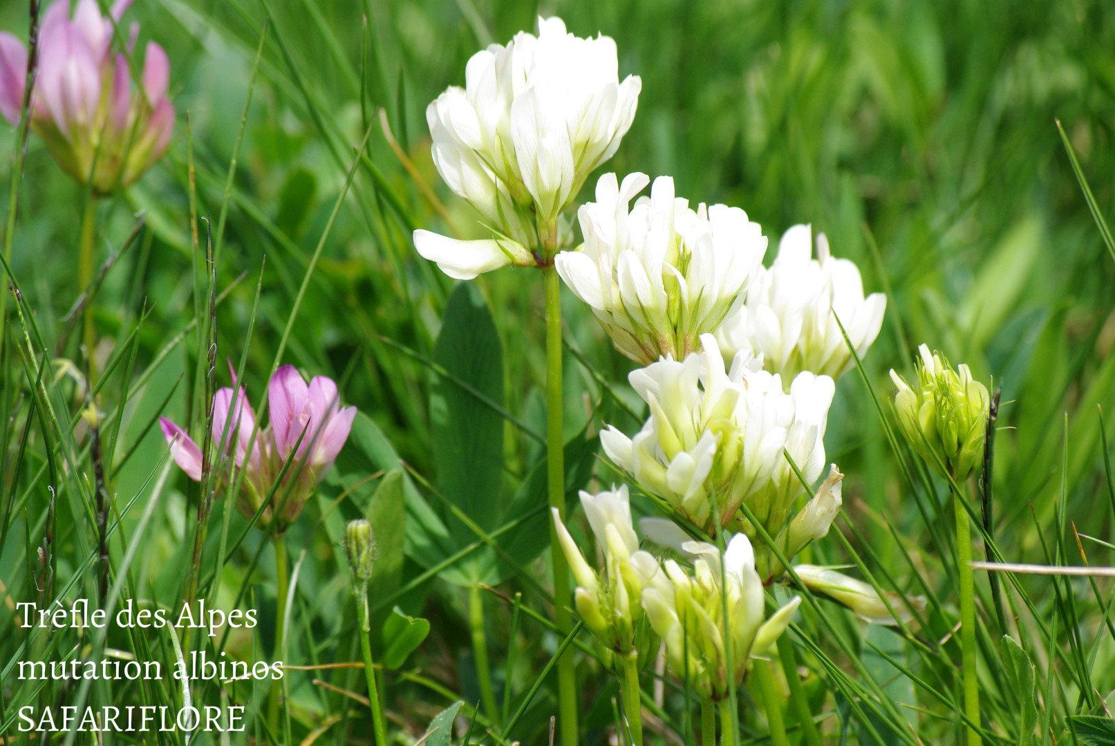 Trifolium alpinum var. alba