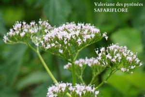 Valeriana pyrenaica