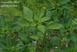 Amaranthus blitus