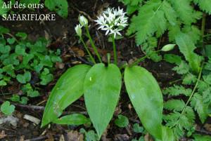 Allium-ursinum-fk