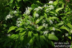 Allium-ursinum1-fk