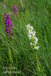 Orchis_male-massif_bicolore-fk