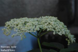 Sureau-Noir-fleurfk