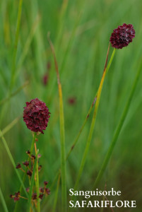 sanguisorba officinale