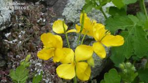 Chelidoine-fleur-fk