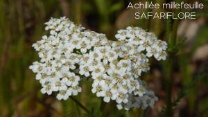 Achillea-millefolium-fk