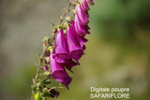 Digitalis purpurea