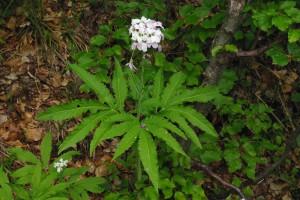 Cardamina heptaphylla