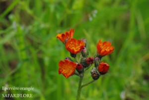 Hieracium aurantiacum