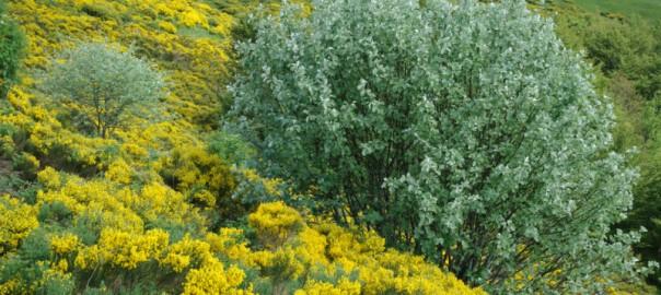lande à genêts dans le Cantal